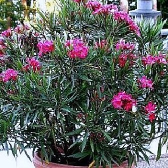 de oleander is een zeer sterke en sierlijke plant voor in de tuin op het balkon of dakterras. Black Bedroom Furniture Sets. Home Design Ideas