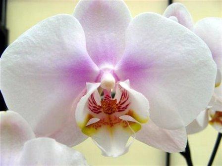 Dendrobium orchidee verzorging snoeien